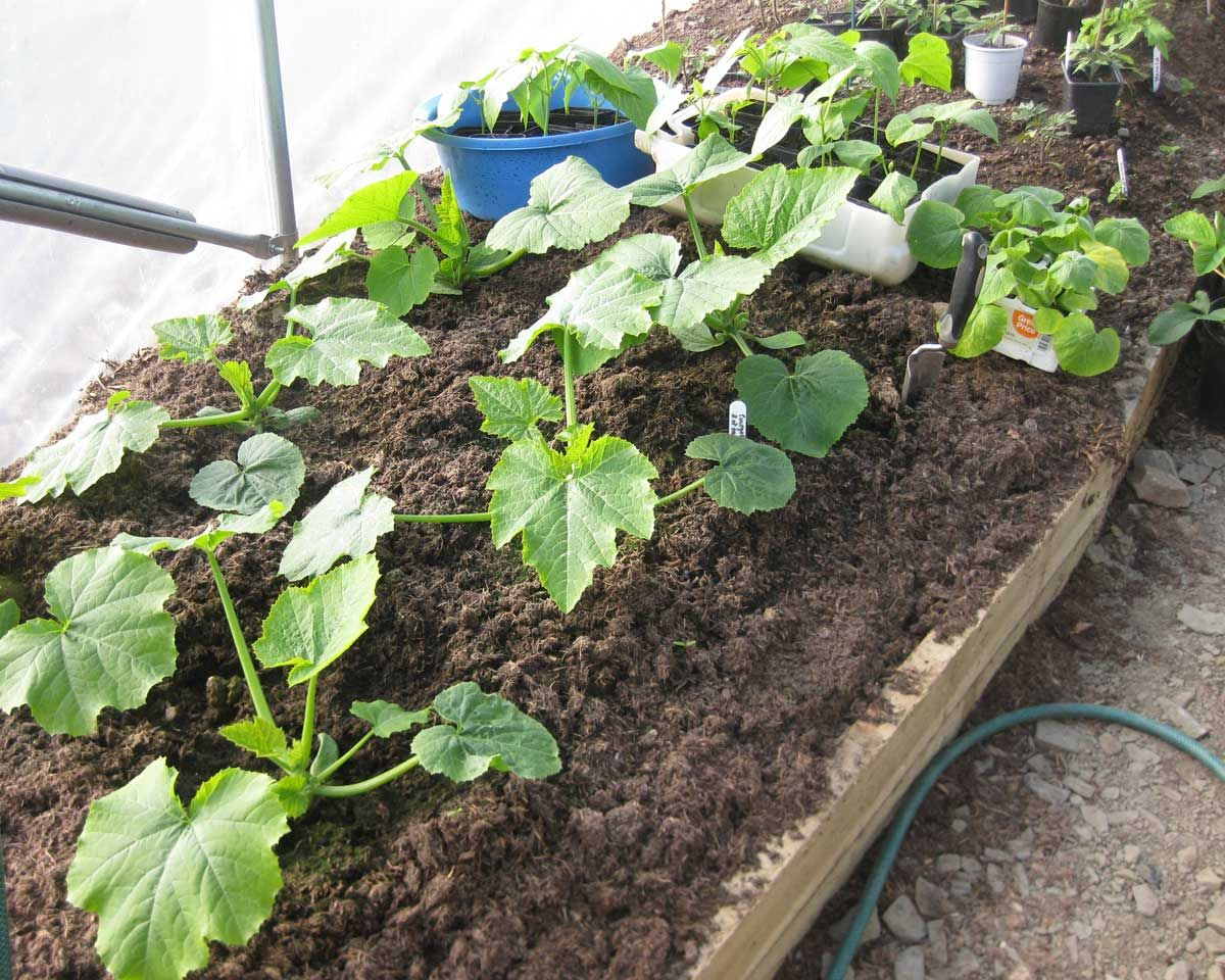 courgette la semer la planter la cultiver au potager. Black Bedroom Furniture Sets. Home Design Ideas