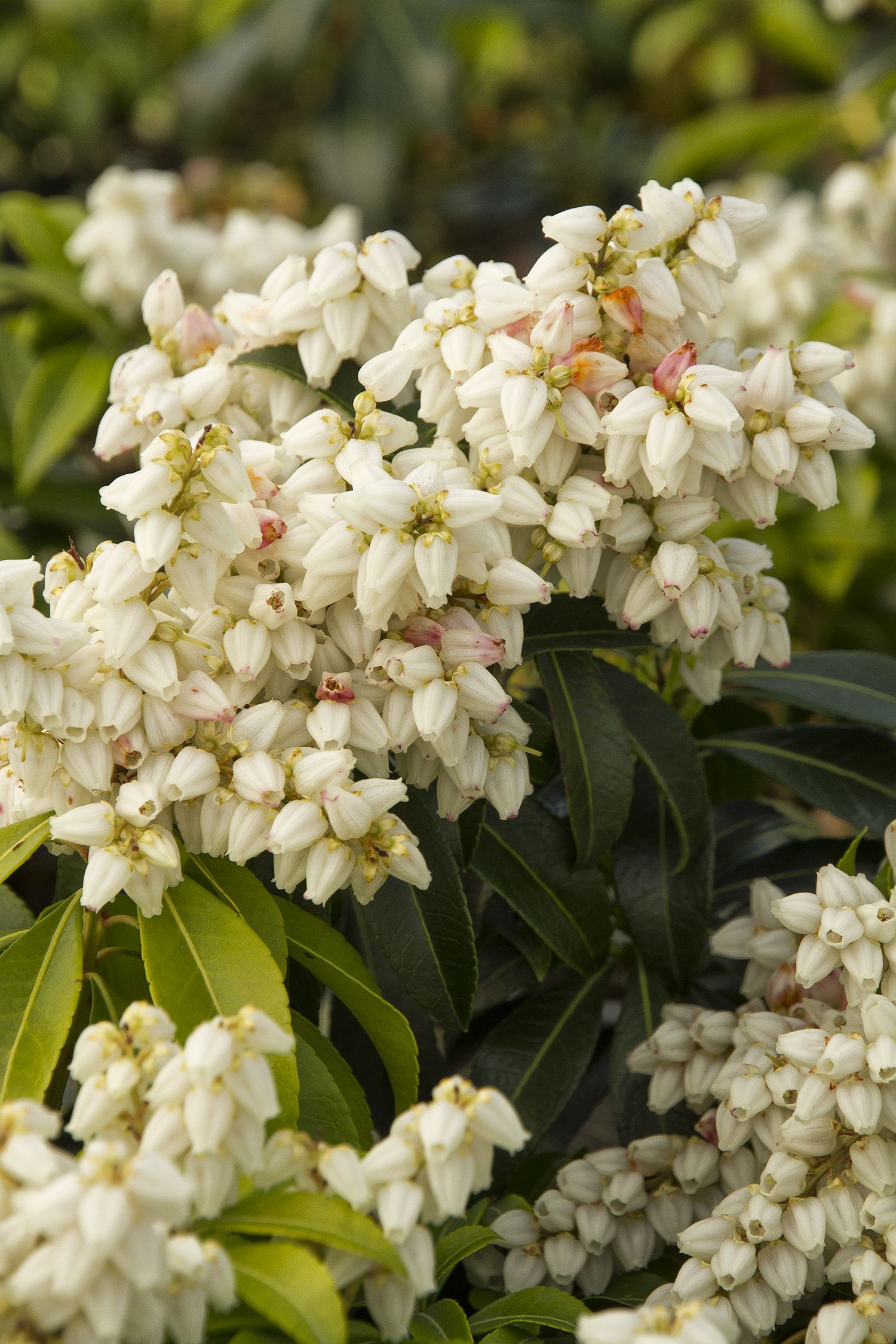 River nymph lily of the valley shrub improved variety with find this pin and more on shades of white dhlflorist Image collections