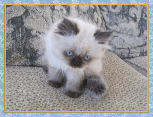 Himalayan Kittens For Sale Himalayan Kitten Himalayan Kittens
