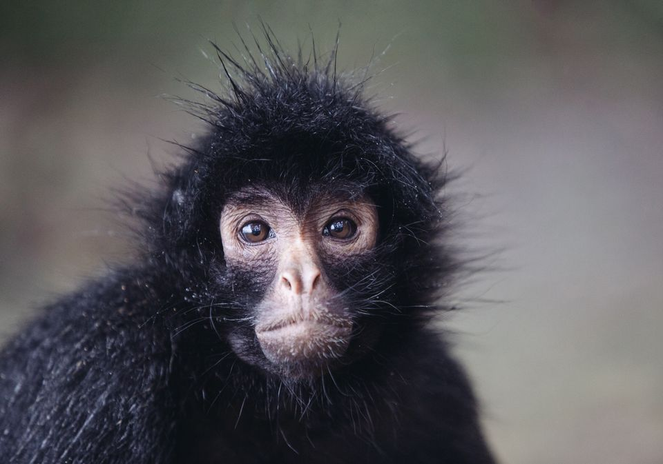 Image Result For Spider Monkey Animals Monkey Animals