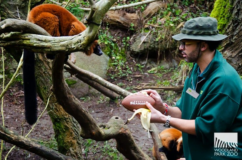 Zookeeper Coach Nick Sutton Knows How To Motivate The Team Coat The Football In Banana Woodland Park Zoo Seahawks Seattle Seahawks