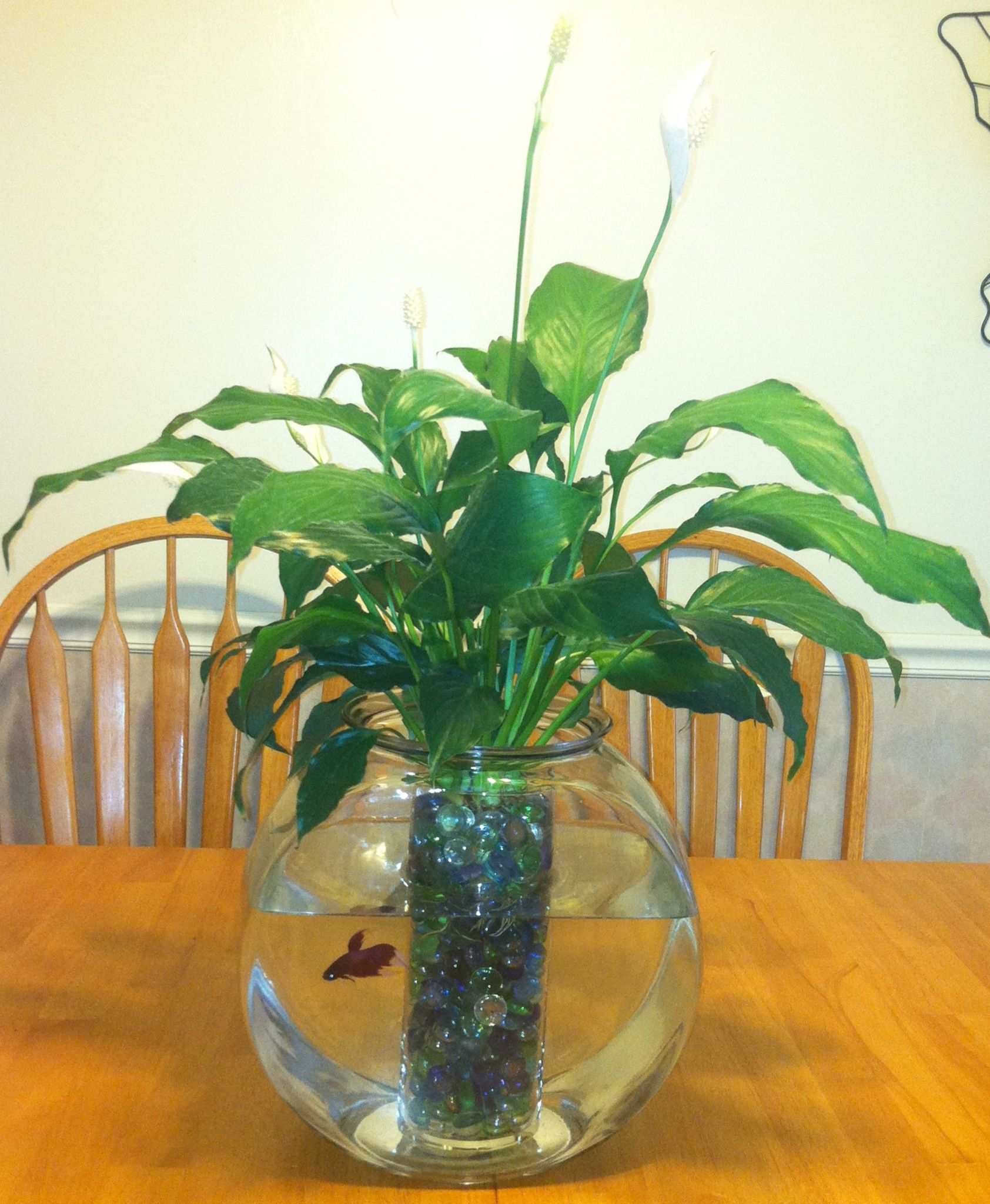 Flower vase with fish - Peace Lily Plant Betta Fish My Mom Makes These All The Time But