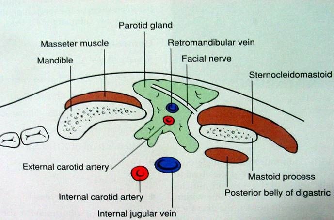 The parotid glands are the largest salivary glands and secrete only ...