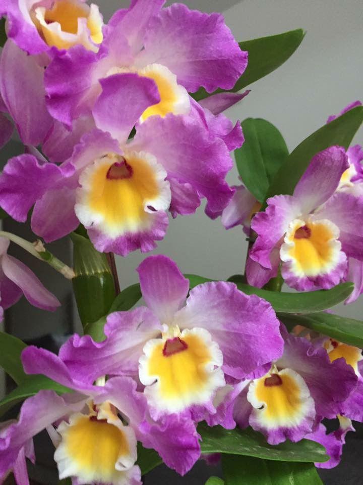 Gorgeous Cattleya Beautiful Flowers Cattleya Orchid Orchids