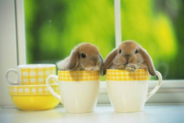 Two Lop Ear Rabbits in Yellow-colored Cups, Front View, Differential Focus
