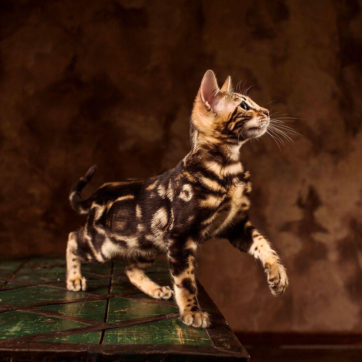 9 Best Marble Bengal Cat Image In 2020 Bengal Kitten Bengal Cat Names Bengal Cat