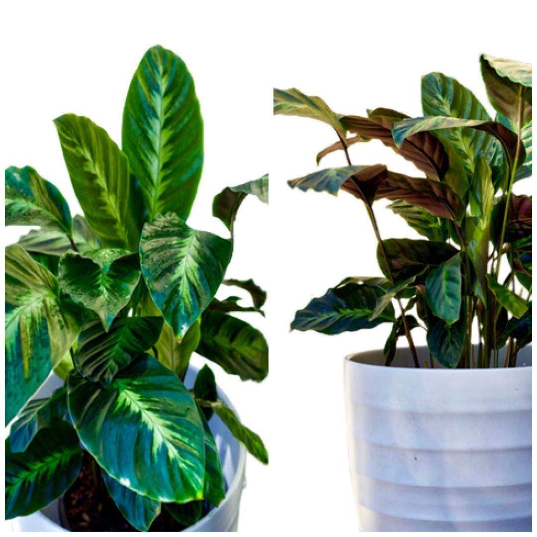 Calathea Misto plants bloomspace indoorplants