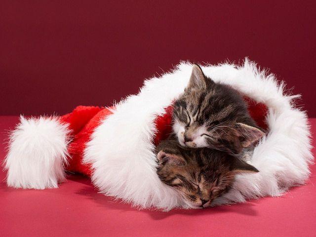 Cat sleeping, Christmas animals, Christmas cats