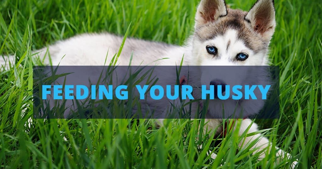 The Basic Info About You Siberian Husky S Diet Find All You Need