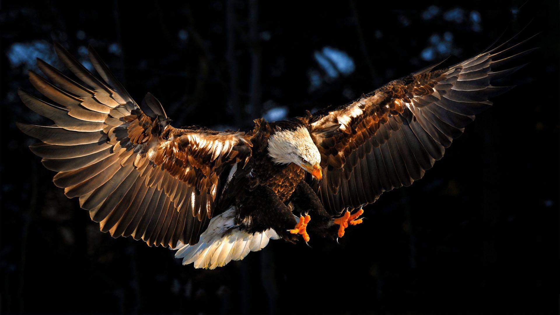 My Feed Eagle Wallpaper Eagle Images Bald Eagle 1080p eagle images hd wallpaper download