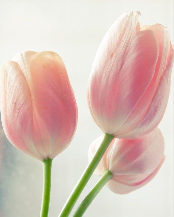 Rosa Tulpen auf dem Kchentisch Dekoration Frhling
