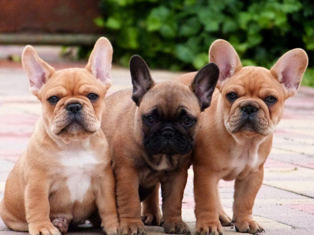 French Bulldog Bulldog Breeds French Bulldog Puppies Bulldog Puppies