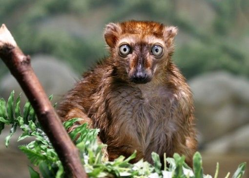 Blue-eyed lemurs are sexually dichromatic. This means that male lemurs are black and the females are orange-brown. However, males are born brown and turn black  after 5-6 weeks. Credit: Thinkstock