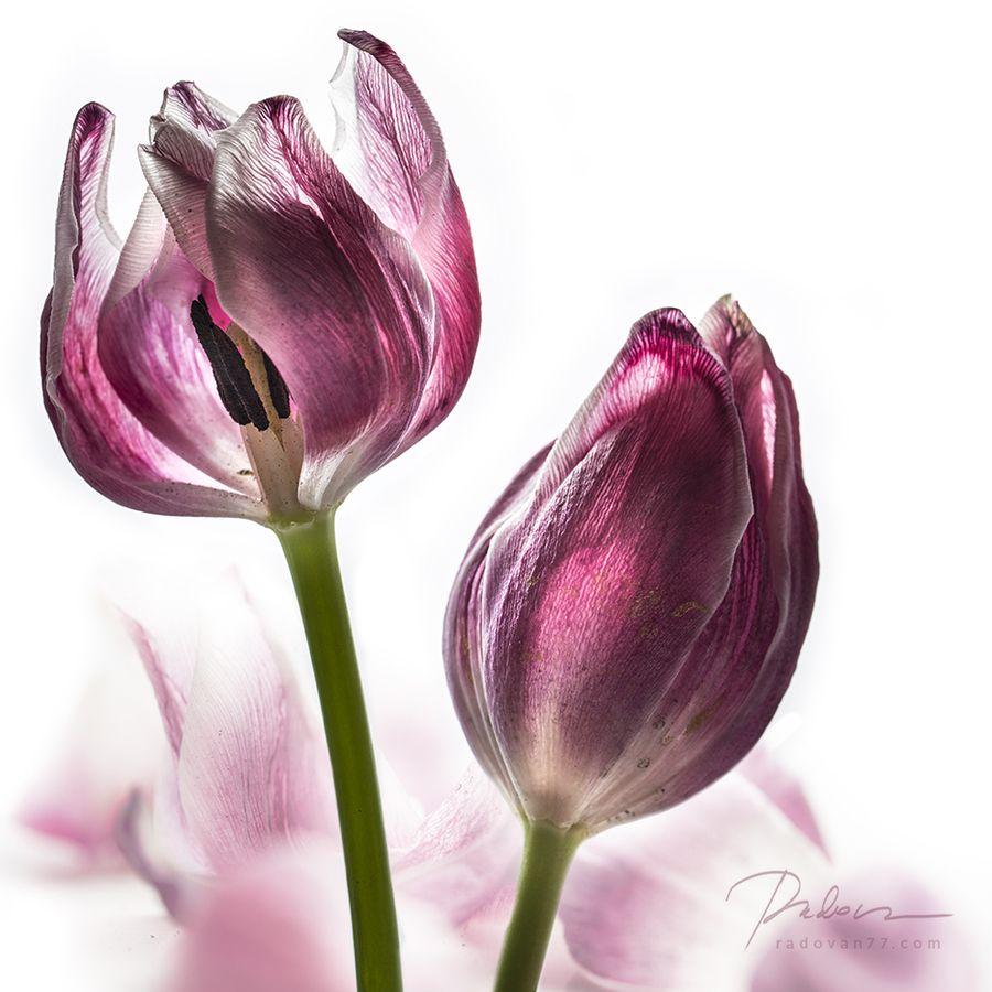 ADIEU! by Radovan Rinaldi on 500px | Photogs | Flowers ...