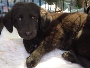 Adopt Abby On Pups Retriever Dog Labrador Retriever Dog Labrador Retriever