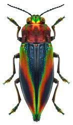 From The Featured Creature:  This Jewel Beetle (Cyphogastra javanica) looks like it was soaked in a mixture of rainbows and paints to embellish its magnificently sculpted exoskeleton.