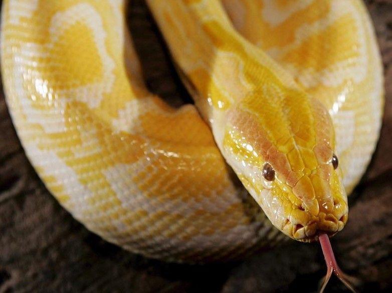 ماذا تعرف عن تفسير حلم الحية الصفراء في المنام موقع مصري In 2021 Animals Burmese Python Animals Wild