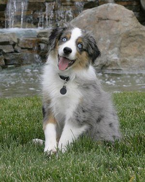 Saved One Of These Yesterday Sooo Sweet Tryn To Talk Jay Into Letting Me Have Her Australian Shepherd Australian Shepherd Dogs Shepherd Dog Breeds