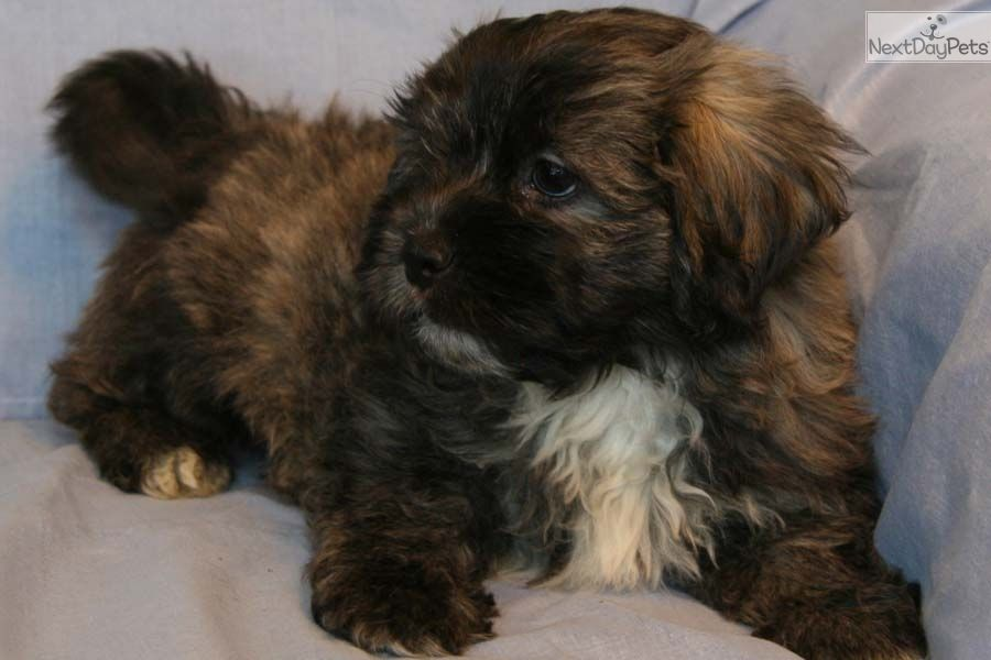Shih Poo Shihpoo Puppy For Sale Near Louisville Kentucky