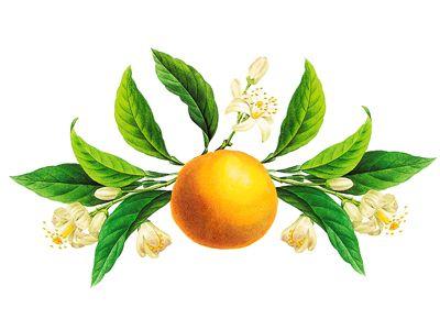 Orange Blossom Vintage Botanical Illustration   Orange ...