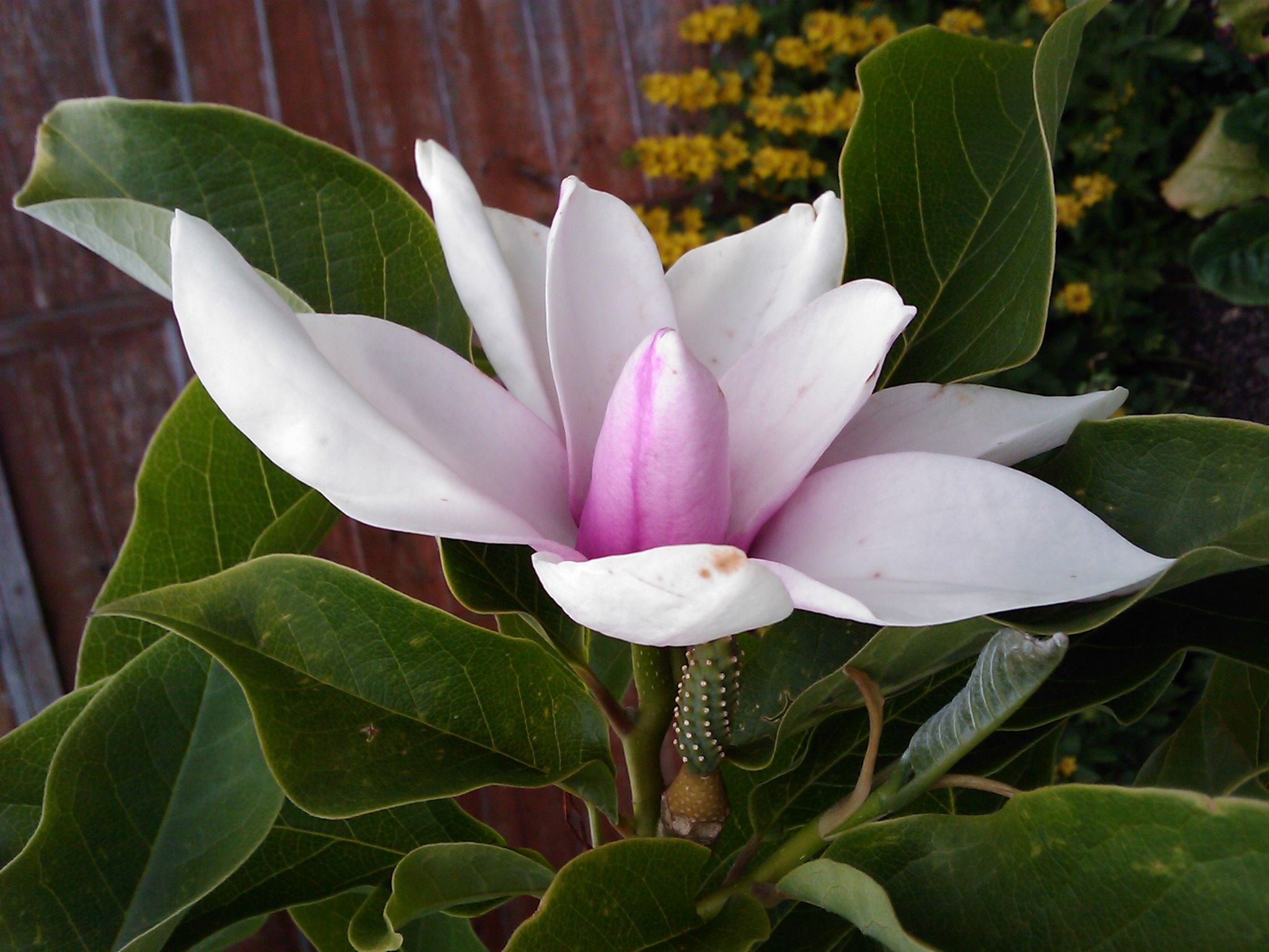 Home garden gallery  Top  ideas about Magnolia on Pinterest  Magnolias Flower and Seeds