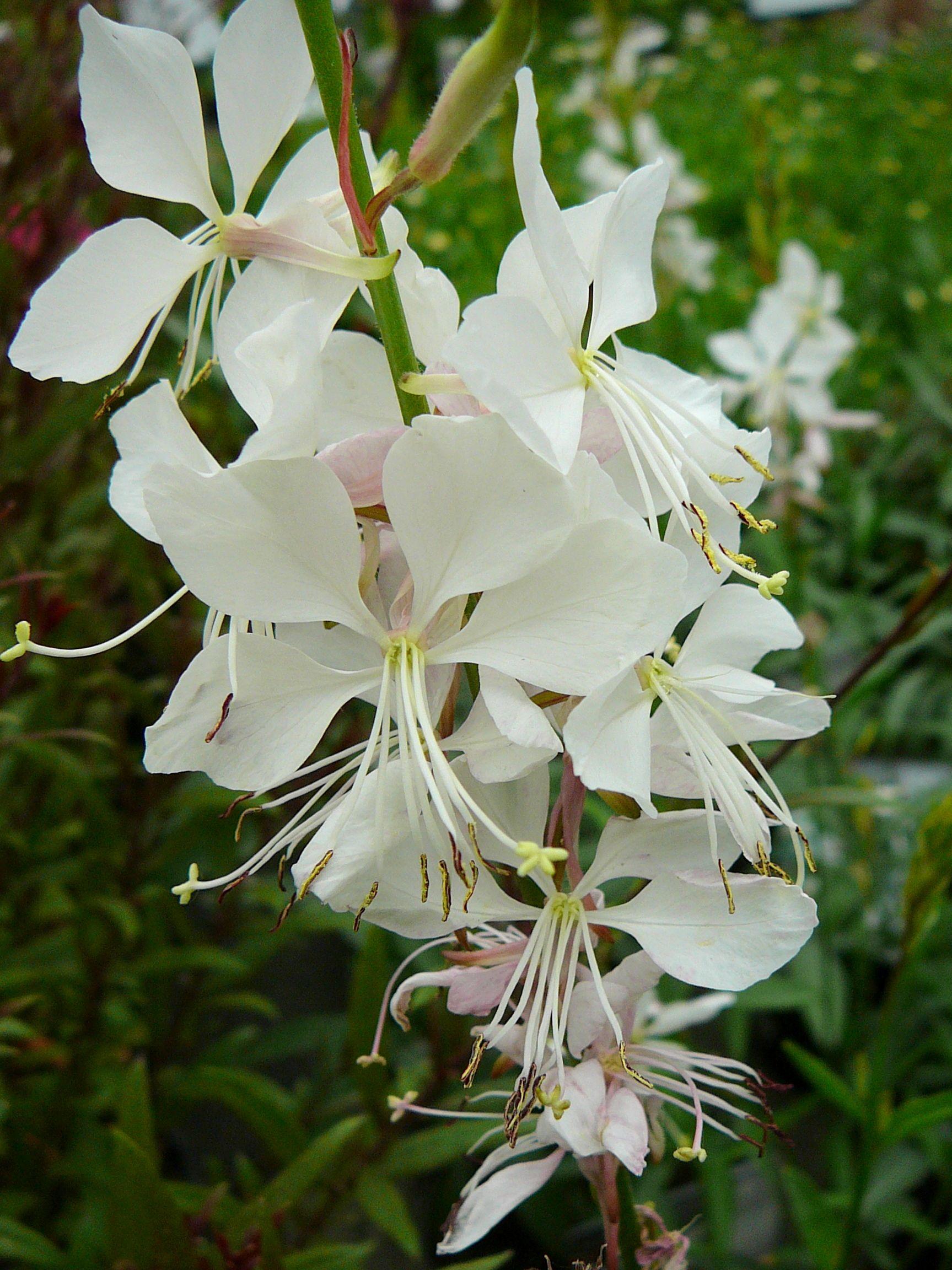 Witte Vaste Planten.Prachtig Bloeiende Vaste Plant Met Talrijke Witte Bloemen Aan