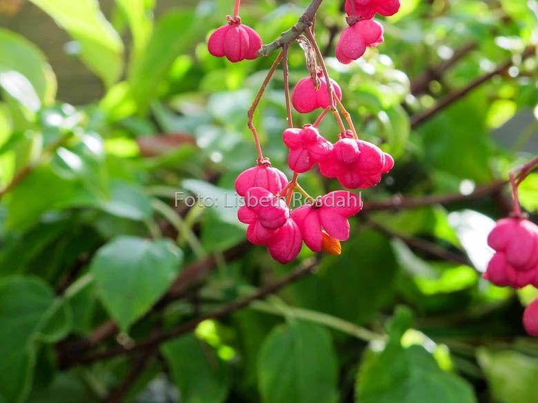 Euonymus eur. Red Cascade