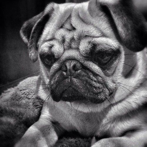 pugadise: A pondering pug ponders one's pug problems