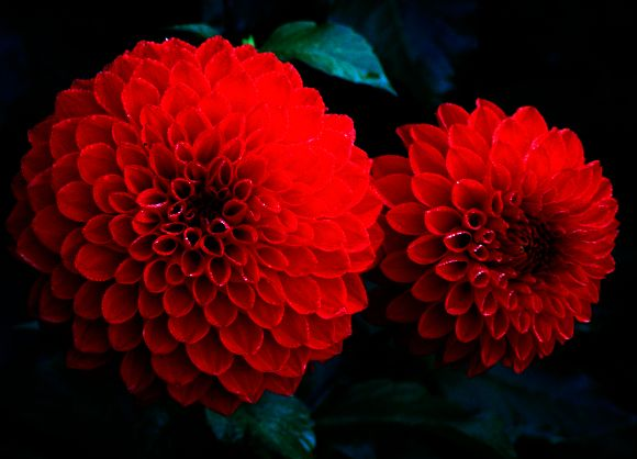 Red Chrysanthemums These Would Be Perfect For The Wedding Bouquets Red Chrysanthemums Beautiful Flowers Red Photography