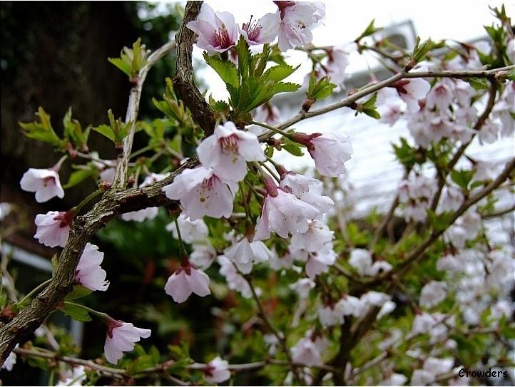 Prunus Incisa Kojo No Mai Dwarf Ornamental Japanese Flowering Cherry Tree Single Pale Pink Flowering Cherry Tree Ornamental Cherry Japanese Flowering Cherry