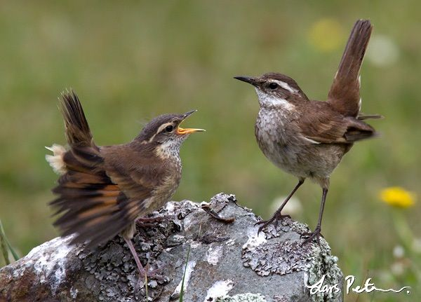 Chestnut-winged Cinclodes, Cinclodes albidiventris, an ovenbird: CO/ VE/ EC/ PE