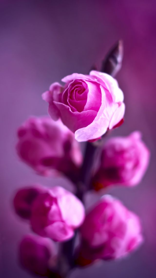 pink roses branch  iphone  5s  wallpaper