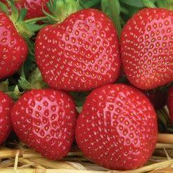 Strawberry Malwina   Late crop variety, very sweet and soft.