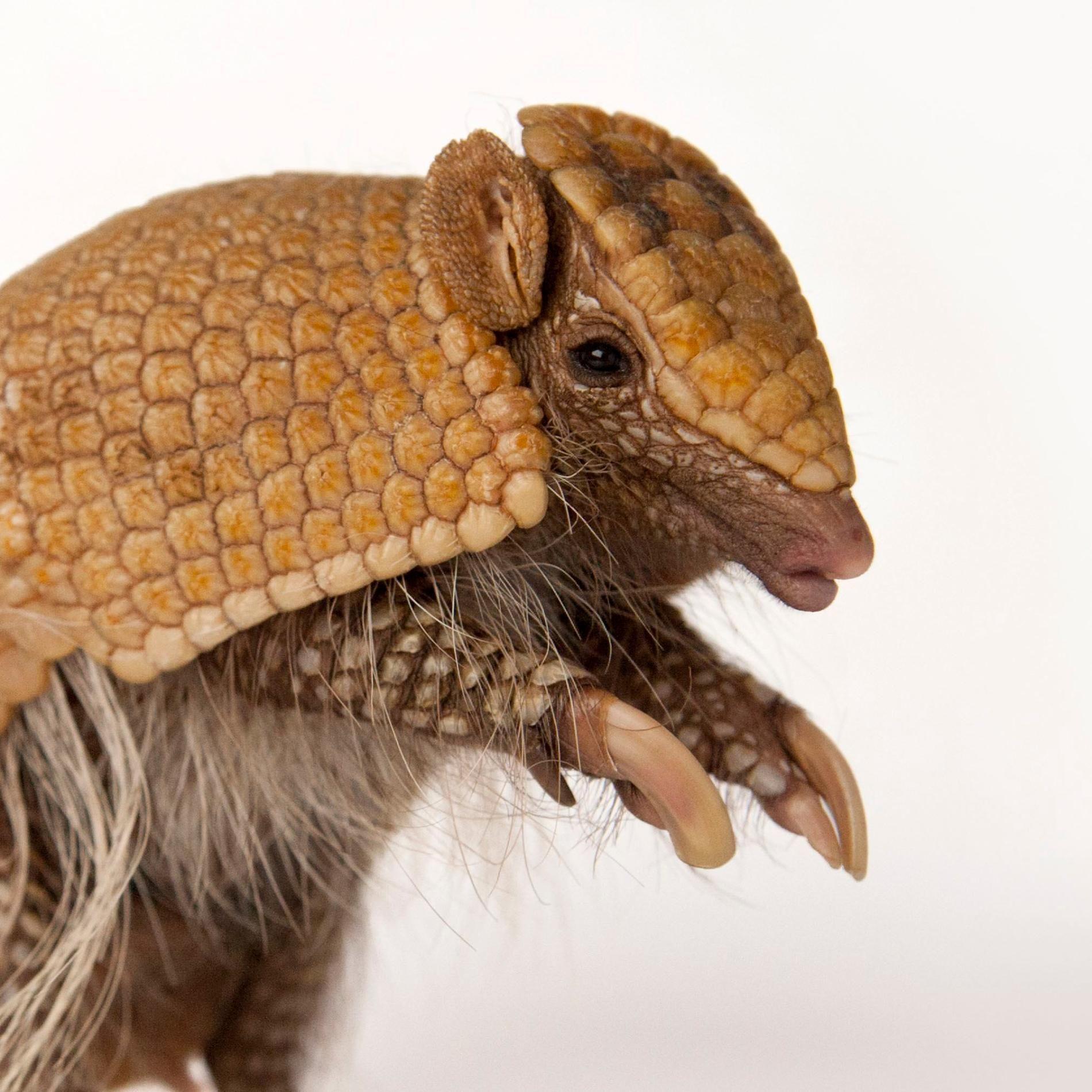 Armadillos armadillo animals amazing animals