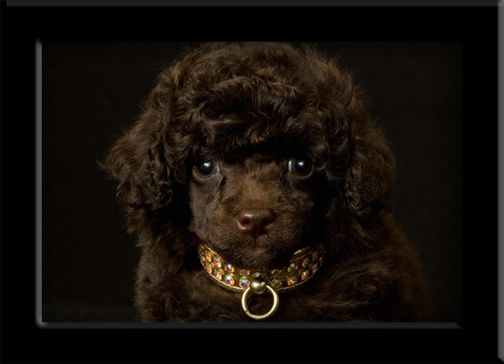 Rick James Poodle Teacup Poodle Puppies Poodle Puppies For Sale