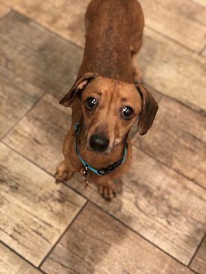 Greensboro Nc Dachshund Meet Everly A Pet For Adoption In 2020 Dachshund Adoption Pet Adoption Dog Adoption