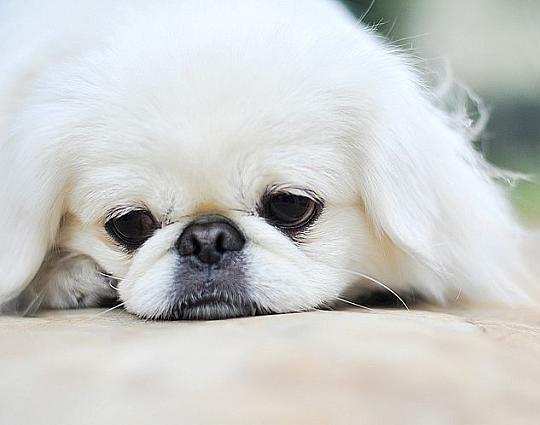 Lounging Pekingese!   Cute Puppy, Nap Time   Pekingnese   Paw This
