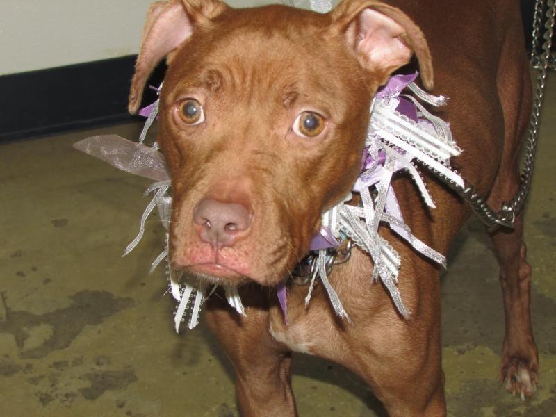 Pitbull puppy rescue ohio