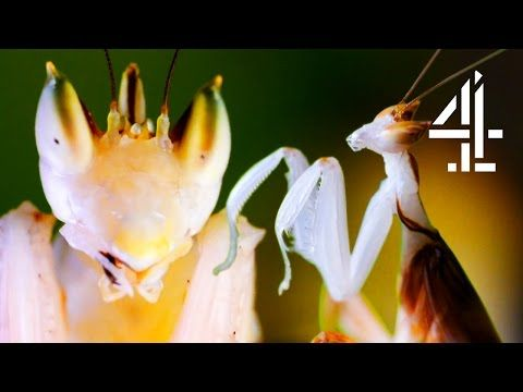 Male Praying Mantis Escapes Being Eaten Alive By Female