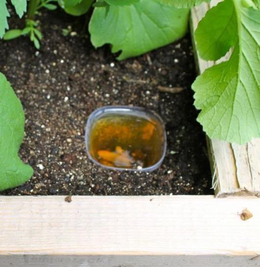 how to kill slugs in garden with beer