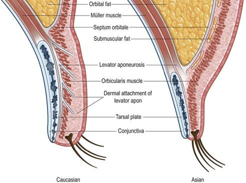 Anatomy And Neurophysiology Related To Eyelid Opening A Aesthetic