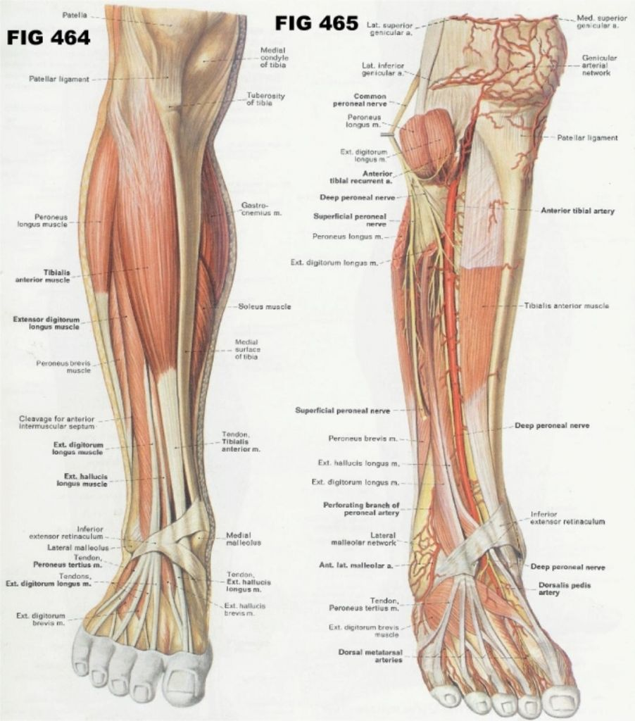 Anatomy Of Leg And Foot - anatomy and physiology of the leg and foot ...