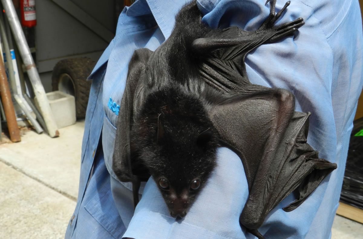 Elvis, the rescued flying fox!