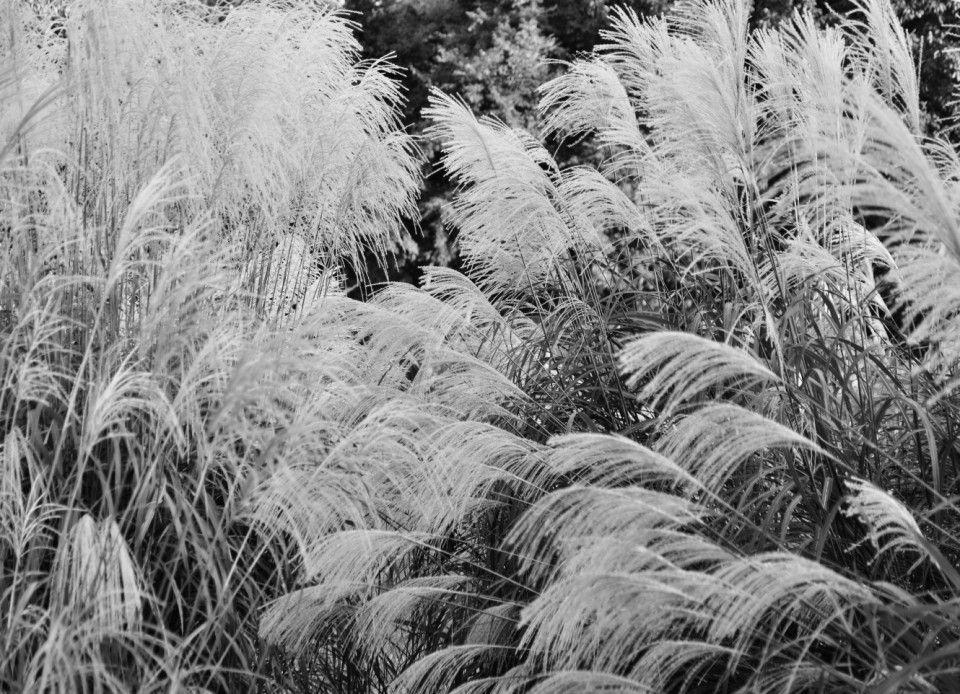 Autumn is felt in Japanese pampas grass. by Amano Chikara Hotshoe.org