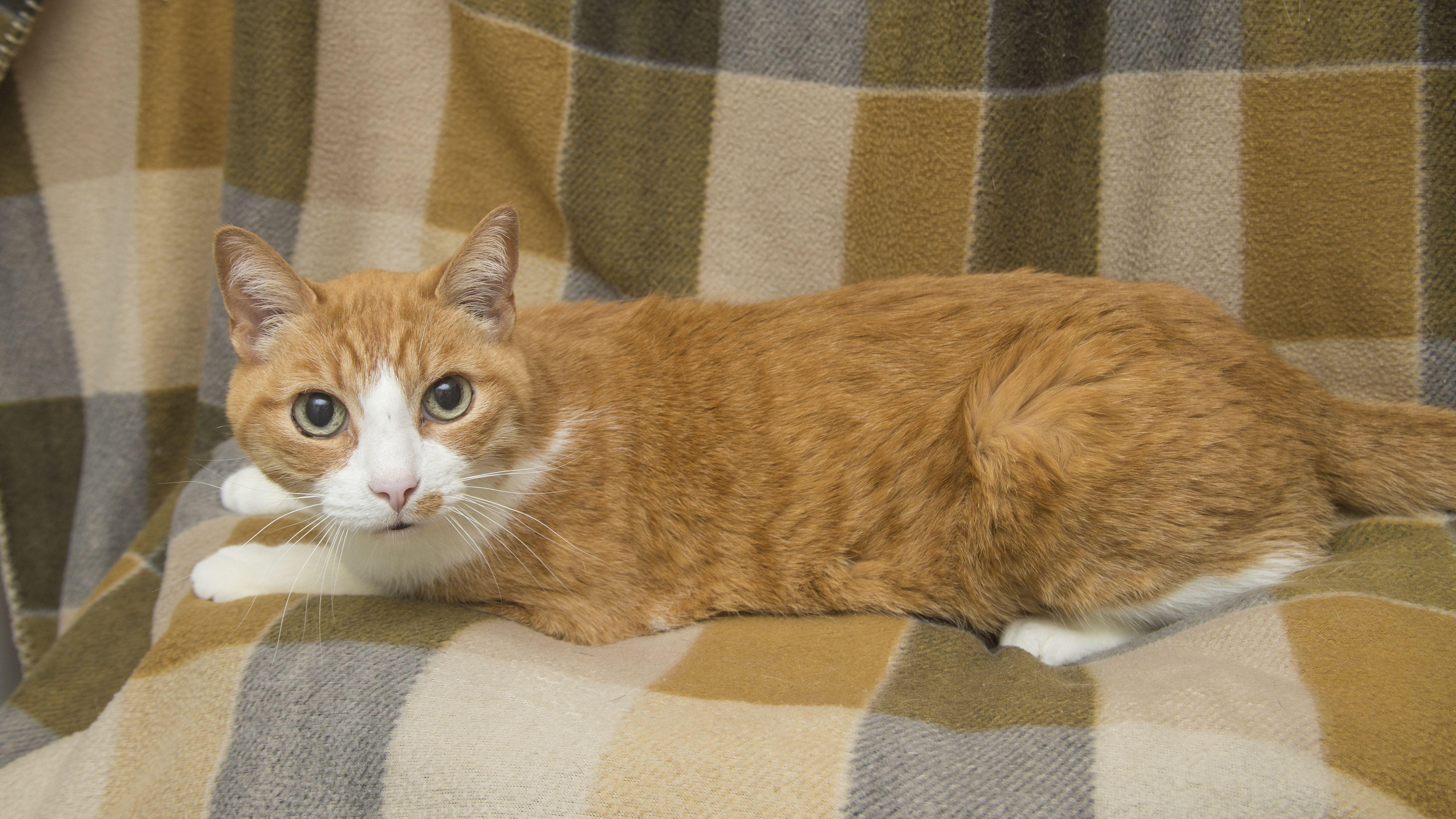 Cornbread Cats, Animals, Hyperthyroidism