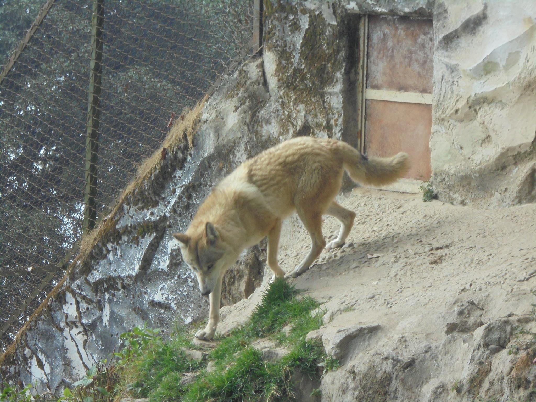 Himalayan Wolf Zoo in india, Himalayan, British government