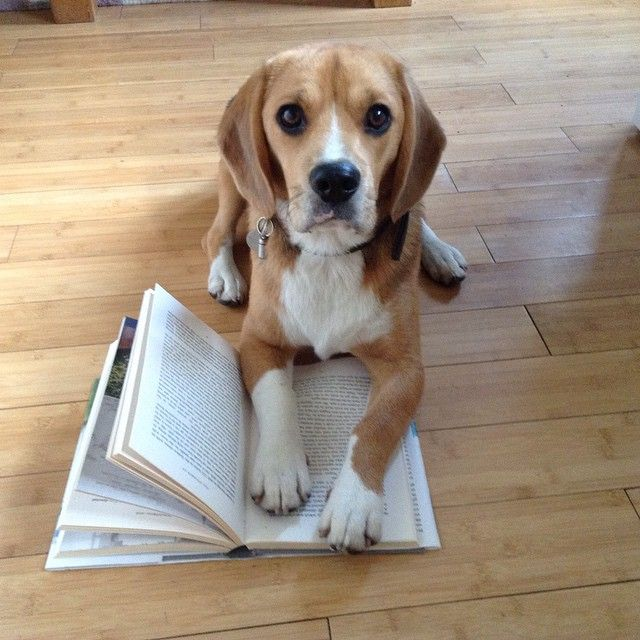 Pin By Writerslife On Beagles Cute Beagles Beagle Puppy Beagle