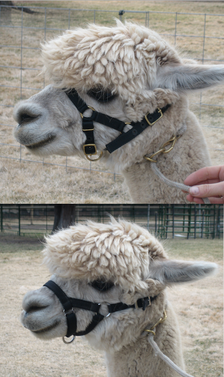 There is nothing more important to success in leading and halter acceptance than halter fit! a well fitting halter will ride well up on nose bone. The halter in the lower picture is TERRIBLE!
