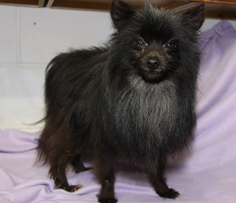 Adopt Milo Neutered On Petfinder Pomeranian Dog Humane Society Animal Rescue