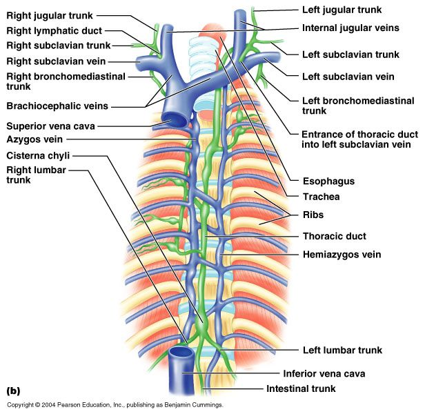Major Lymphatic trunks Home decor Pinterest Lymphatic system - spritzschutz glas k amp uuml che